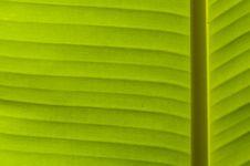 Free Banana Leaf Royalty Free Stock Photo - 18533515