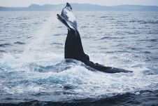 Free Humpback Whale Stock Photo - 18533830