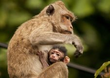 Free Mother Monkey With Baby Stock Photo - 18534340