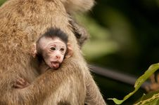 Free Monkeys Stock Image - 18534401