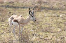 Free Springbok Stock Photos - 18534583
