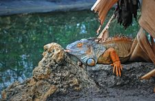 Free Interesting Iguana Royalty Free Stock Photos - 18534788