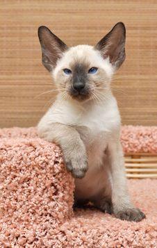 Free Kitten Of Oriental Breed Stock Photography - 18535232