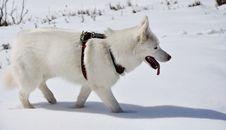 Free Husky Dans La Neige Royalty Free Stock Image - 18535376