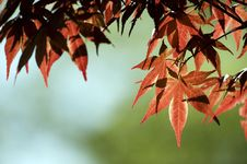 Free Red Leaves Royalty Free Stock Images - 18535789