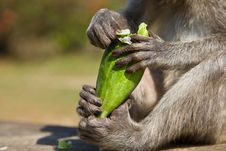 Free Monkey Eating A Cucumber Royalty Free Stock Photos - 18536448