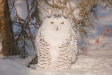 Free Stare Of An Owl Stock Photo - 18536490