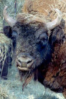 Free The Buffalo Stock Image - 18536591