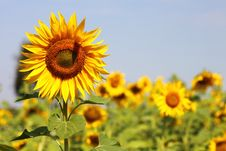 Free Beautiful Sunflowers Royalty Free Stock Image - 18536696