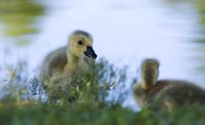 Free Portrait Of A Small Gosling Royalty Free Stock Photography - 18537957