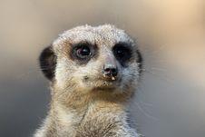 Free Meerkat Royalty Free Stock Image - 18539206
