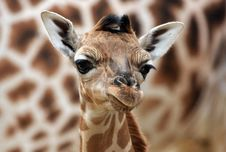 Free Young Giraffe Royalty Free Stock Images - 18539299