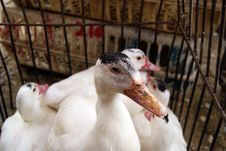 Free Duck Stock Images - 18539344