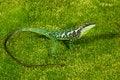 Free Green Tree Lizard Royalty Free Stock Photos - 18541098