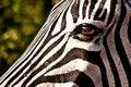 Free Eye Of The Zebra Royalty Free Stock Photography - 18545347