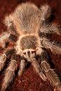 Free Tarantula Royalty Free Stock Photography - 18545637