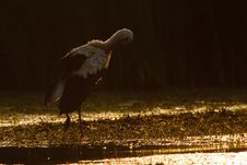 White Stork In Low Light Royalty Free Stock Photos