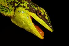 Free Green Tree Lizard Stock Photo - 18541040