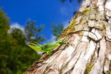 Green Tree Lizard Stock Photos