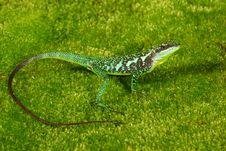 Free Green Tree Lizard Royalty Free Stock Photos - 18541098