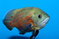 Free Oscar Fish Stock Photo - 18541310