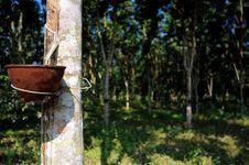 Free Rubber Plantation Stock Photo - 18543040
