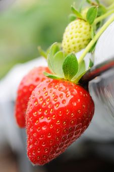Fresh Strawberry Isolated With Green Strawberry Royalty Free Stock Photography