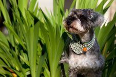 Free Miniature Schnauzer Stock Photo - 18544690