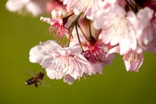 Free Cherry Blossom Stock Image - 18544811