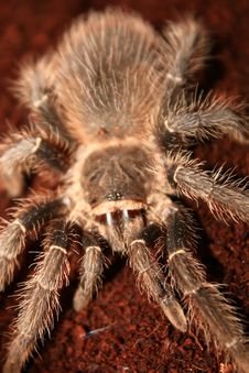 Free Tarantula Royalty Free Stock Photography - 18545637