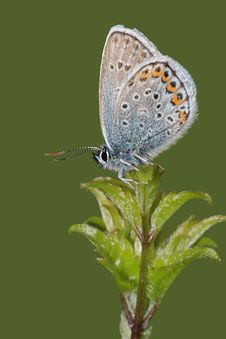 Butterfly Common Blue (Polyommatus Icarus) Stock Photography