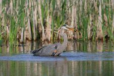 Free Feeding Blue Heron Stock Photography - 18546922
