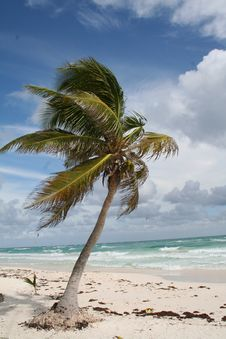 Free Palm Tree In Tulum Beach - Mexico Royalty Free Stock Photo - 18547675