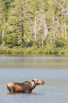 Free Cow Moose Stock Image - 18549461