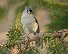 Free Tufted Titmouse Royalty Free Stock Images - 18549469