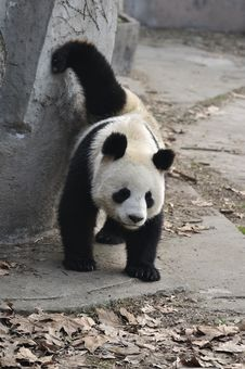 Free China Panda In Chengdu Stock Image - 18550311