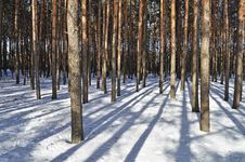 Free Pine Trees In Winter Forest Stock Images - 18551444