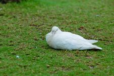 Sitting Dove Royalty Free Stock Photography