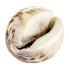 Free Sea Shell Stock Image - 18557151