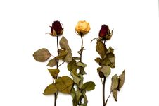 Free Withered Rose Royalty Free Stock Photos - 18559148