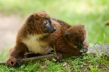 Cute Red-bellied Lemur With Baby Stock Images
