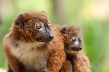 Free Cute Red-bellied Lemur With Baby Stock Images - 18559824