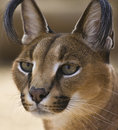 Free Portrait Of A Caracal Cat Royalty Free Stock Image - 18565216