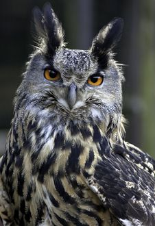 Free Eagle Owl Royalty Free Stock Image - 18561896