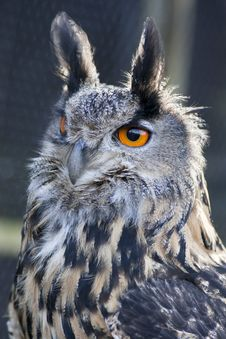 Free Eagle Owl Royalty Free Stock Images - 18562339