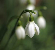 Free Snowdrop Royalty Free Stock Photography - 18562937