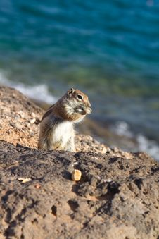 Free Ground Squirrel Stock Photography - 18562992