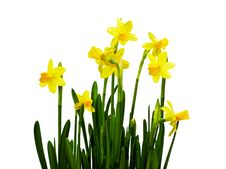 Free Bunch Of Daffodils Isolated On White Stock Photography - 18563752