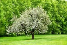 Free Solitary Blooming Appletree Stock Photography - 18563762