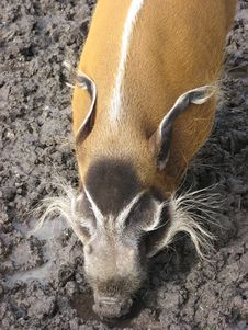 Free Red River Hog In Mud Stock Image - 18564231